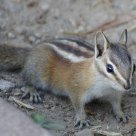An Audacious Chipmunk