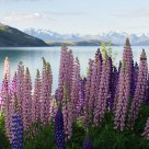 Lupins at Lake Tekapo