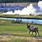 Elk by geothermal area