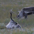Reindeer takes a rest