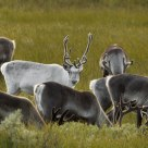 The white reindeer in the Norwegian mountains