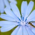 La syrphe et la belle bleue