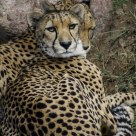 Leopards lounging