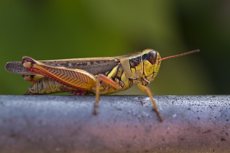 Grasshopper