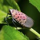 斑衣蜡蝉 Lycorma delicatula