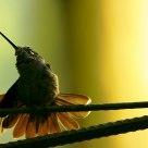 Amanecer de un colibrí