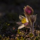 Pulsatilla vernalis (Spring Pasque flower)