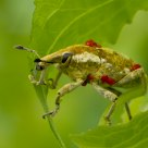 Weevil with parasitic mites