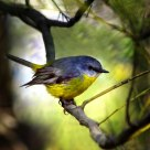 东黄鸲鹟---Eastern Yellow Robin