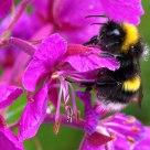 Good morning, bumblebee!