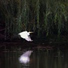 Egret and Reflection