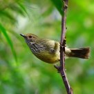 纵纹刺嘴莺      Striated Thornbill