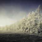 Frosted Larches