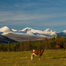 Cows in front of mountains in Rondane/ Norway