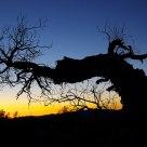 Tree in dawn