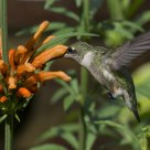 Ruby-throated Hummingbird on Leonotis Leonurus