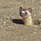 The Long-tailed Weasel
