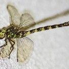 Urban dragonfly