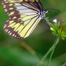 Sulawesi butterfly