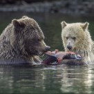 Yearling Cub & Sow Feeding on Sockeye Salmon