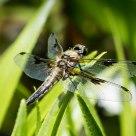 Libelle / Odonata