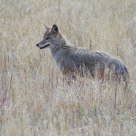Coyoyte in the Grass