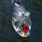 red-face duck