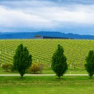 Wineyards of Yarra Valley