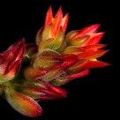 Flor de planta carnosa