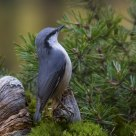  Eurasian Nuthatch (Sitta europaea)