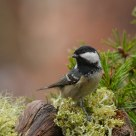  Coal Tit, Periparus ater