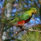 澳洲国王鹦鹉  Australian King-Parrot (Alisterus scapularis)----Female