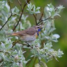 Norwegian Bluethroat