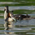 Grebe family with catch