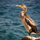 Cormorant