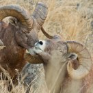 portrait of bighorn sheep