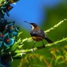 东尖嘴吸蜜鸟 (雄)  Eastern Spinebill (male)