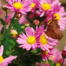 The butterfly lingers over the flower
