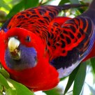 鸟为食亡   Birds for food (Crimson Rosella in the wild woods)