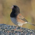 Oregon Dark-Eyed Junco having snacks