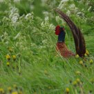 Windy pheasant