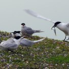 Fish alarm - sandwich tern males competing for a female
