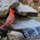 northern cardinal at my water pond