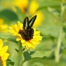 Swallowtail butterfly and sunflower