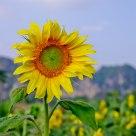 怒放的向日葵