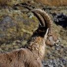 Capra Ibex - Stambecco alpino