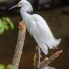 Snowy Egret - Breeding Plumage