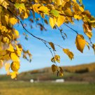 Birch in Fall