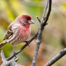 so sleepy...a house finch