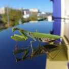 Reflexo de um louva a Deus (Reflection of a mantis)